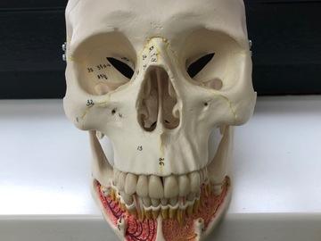 Artikel aangeboden: Anatomie Schedel