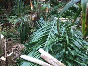 Vente avec paiement en direct: Coeur de palmiste péjibaye