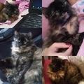 Anuncio: Mi gatita Minina se encuentra extraviada