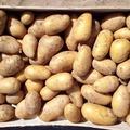 Vente avec paiement en direct: pomme de terre variété Charlotte