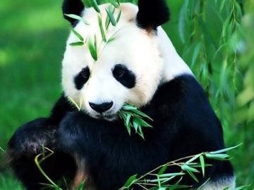 Entraide: Bon week-end avec quelques pandas qui s'amusent :)