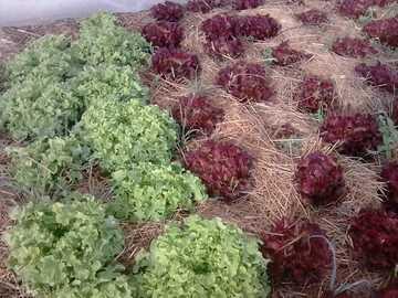 Vente avec paiement en direct: Salades feuilles de chêne rouge et verte, en permaculture