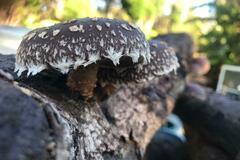 For sale: Shiitake Mushroom Log