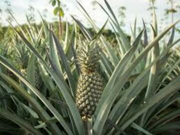 Vender: Ananas frais export