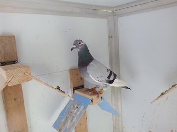 Vente avec paiement en ligne: Fille 1er AS pigeon 2017