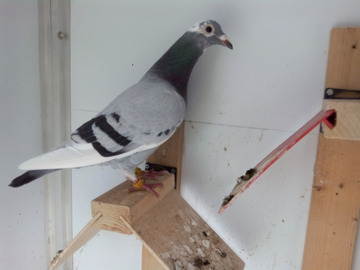 Vente avec paiement en ligne: Daughter of 1 ° AS European pigeon 2017+ Male for Free