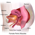 For Sale Now: Your Dynamic Pelvic Floor