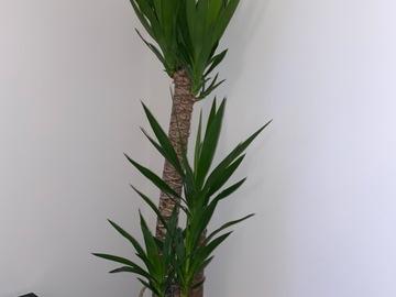 Vente: Yucca