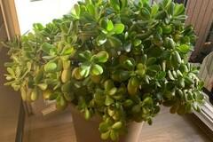 Vente: Crassula ovata (Arbre à jade) - 50 cm