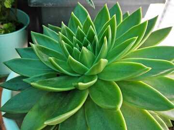 Vente: Echeveria agavoides - 40 cm