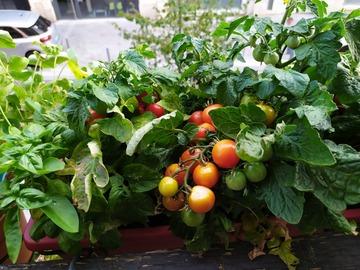 Vente: Tomate cerise Red Robin ( 50 graines)