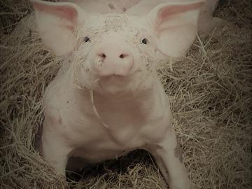 Vente avec paiement en direct: Vente de Porc Bio