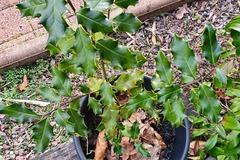 Vente: Jeune houx  +/- 30 cm, à planter actuellement.