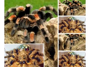 Vente au détail: Grande araignée