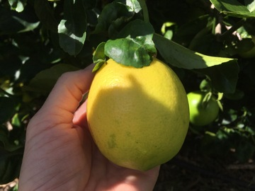 Share or Trade: Meyers lemons