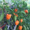 Share or Trade: Habanero peppers