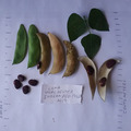 pay by mail only, w/ request form: Worchester Indian Red Pole Lima Bean