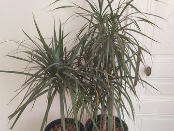 Vente: Vend 2 palmiers dracaena marginata