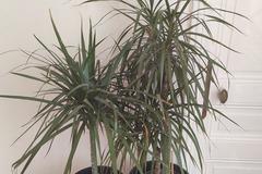 Sales: Vend 2 palmiers dracaena marginata