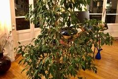 Don: Donne Ficus 1m60