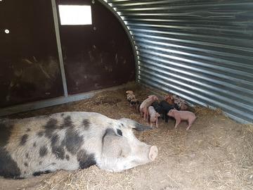 Vente avec paiement en direct: viande bio de boeuf et de porc