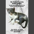 Anuncio: Ayúdeme a encontrar a mi gatita bebé.