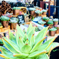 Selling with online payment: 6-Pack Succulents in Copper Pots