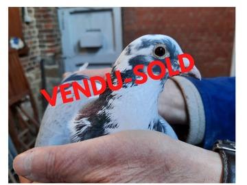Vente avec paiement en ligne: Jusqu'au 20 déc. FILS du Bleu LIMBOURG AS PIGEON VITESSE