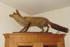 Troc: renard taxidermie