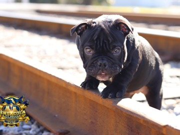Selling with online payment: Black Ghost Tri Female Pup Sired by DCF Bulls Beef