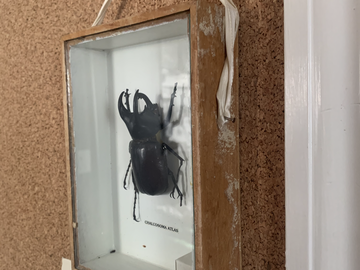 For Sale: Shadow Box Beetle