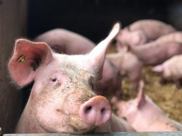 Vente avec paiement en direct: Colis  de viande de porc fermier