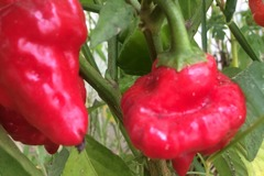 pay online or by mail: Jamaican Red Pepper