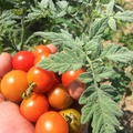 pay online or by mail: Velvet Red Tomato