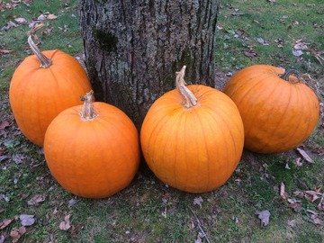pay online or by mail: Connecticut Field Pumpkin