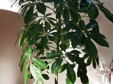 Vente: Schefflera arboricole 80 cm