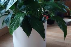 Vente: Spathiphyllum Fleur de lune