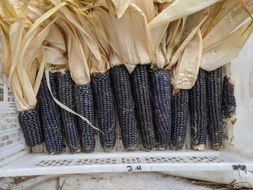 pay online or by mail: Hopi Blue corn
