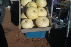 pay by mail only, w/ request form: White Casper Pumpkins Squash