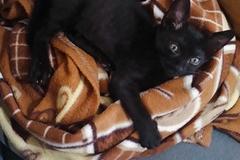 Anuncio: Gatito macho en adopción responsable