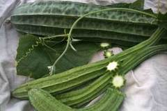 pay online or by mail: Ridged Luffa edible gourd