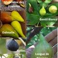 Vente: Boutures de figuiers ( 11 variétés différentes)