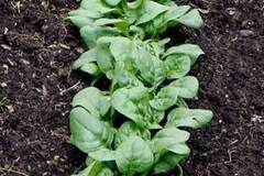 pay online only: Abundant Bloomsdale Spinach