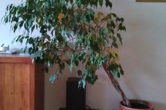 Vente: Ficus