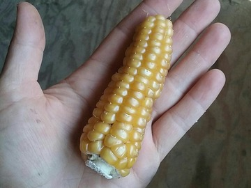 pay online or by mail: Gaspe by Morden mini flint hybrid corn
