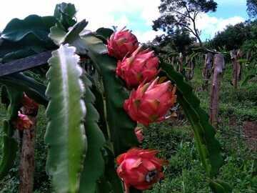 Pagamento online : Fruticultura - Produção de Pitaia