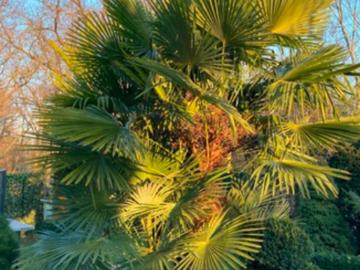 Giving away: Donne ou échange graines de Palmier
