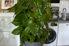 Vente: Plante verte à l'âge adulte d'1 m