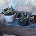 Don: agaves