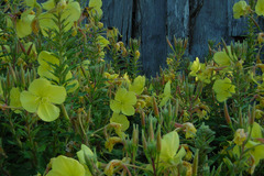 pay online or by mail: Tina James Evening Primrose